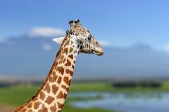 Żyrafa w natury siedlisku, Kenja, Afryka Zdjęcie Royalty Free
