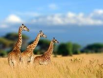 Żyrafa w natury siedlisku, Kenja, Afryka Obrazy Royalty Free