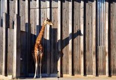 Żyrafa w Parc De Los angeles Tete-d& x27; Lub & x28; zoo& x29; Lyon france Obrazy Stock
