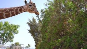 Żyrafa w parku na Cypr wyspie zbiory