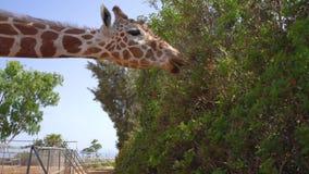 Żyrafa w parku na Cypr wyspie zbiory wideo