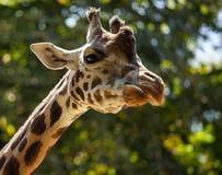Żyrafa wśród zielonych drzew Obrazy Stock