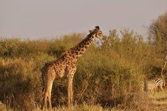 Żyrafa w sawannie Zdjęcie Stock