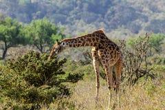 Żyrafa w sawannie Obrazy Stock