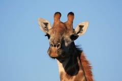 Żyrafa w sawannie Południowa Afryka podczas safari Obraz Stock