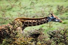 Żyrafa w Serengeti Zdjęcia Stock