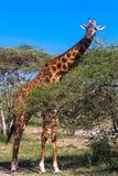 Żyrafa w Serengeti sawannie blisko akaci Tanzania, Afryka Zdjęcie Royalty Free