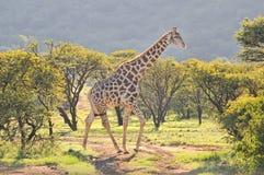 Żyrafa w trawy i akaci polu Zdjęcia Stock