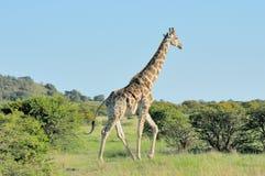 Żyrafa w trawy i akaci polu Obraz Stock