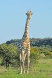 Żyrafa w trawy i akaci polu Obraz Royalty Free