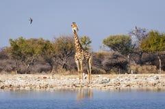 Żyrafa w waterhole w Etosha parku narodowym w Namibia, Afryka Fotografia Stock