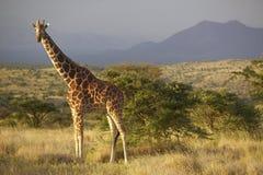 Żyrafa w zmierzchu świetle przy Lewa Conservancy, Kenja, Afryka Zdjęcia Royalty Free