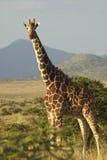 Żyrafa w zmierzchu świetle przy Lewa Conservancy, Kenja, Afryka Fotografia Stock