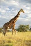 Żyrafa w zmierzchu świetle przy Lewa Conservancy, Kenja, Afryka Obraz Royalty Free