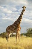 Żyrafa w zmierzchu świetle przy Lewa Conservancy, Kenja, Afryka Zdjęcie Stock