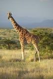 Żyrafa w zmierzchu świetle przy Lewa Conservancy, Kenja, Afryka Zdjęcie Royalty Free