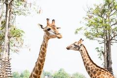 Żyrafa w zoo Obraz Royalty Free