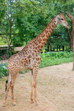Żyrafa w zoo Zdjęcie Stock