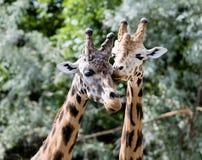 Żyrafa w zoo, Pilsen, republika czech Obrazy Stock