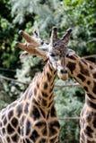 Żyrafa w zoo, Pilsen, republika czech Zdjęcie Stock