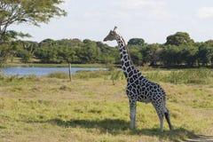 Żyrafa, Yumka park, Villahermosa, Tabasco, Meksyk Fotografia Stock