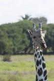 Żyrafa, Yumka park, Villahermosa, Tabasco, Meksyk Obrazy Royalty Free