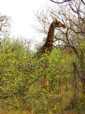 Żyrafa z długą szyją Zdjęcia Stock