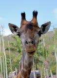 Żyrafa z Prostą twarzą Obrazy Stock