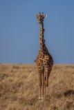Żyrafa z ptakami na szyi Obrazy Royalty Free