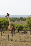 Żyrafa z zebrą w tle Obrazy Stock
