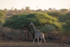 Żyrafa zmierzch Obraz Stock