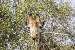 Żyrafy łasowania akacja rozgałęzia się w kruger parku Obraz Stock