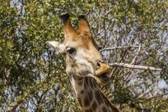 Żyrafy łasowania akacja rozgałęzia się w kruger parku Fotografia Stock
