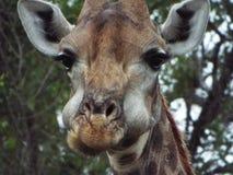 Żyrafy łasowanie Obrazy Royalty Free