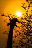 Żyrafy łasowanie przy wschodem słońca Obraz Royalty Free