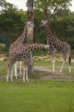 Żyrafy Fotografia Royalty Free