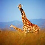 żyrafy Zdjęcia Stock