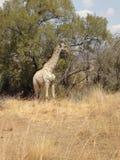 żyrafy Fotografia Stock
