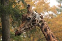 żyrafy Obrazy Stock