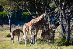 Żyrafy Ambassador: Giraffa camelopardalis Obrazy Royalty Free