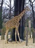 Żyrafy artiodactyl ssaka Afryka sawannowa szyja Zdjęcia Stock