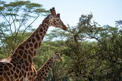 Żyrafy łasowanie od drzew Obrazy Royalty Free