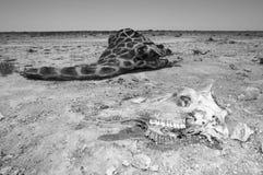 Żyrafy czaszka Obraz Royalty Free
