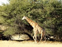 Żyrafy drzewo Obrazy Royalty Free