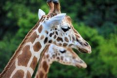 żyrafy dwa Zdjęcia Stock