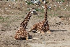 żyrafy dwa Fotografia Stock