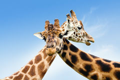 żyrafy dwa Obrazy Stock