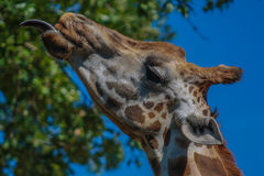 Żyrafy głowa obrazy stock
