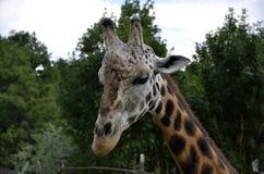Żyrafy głowa Fotografia Royalty Free