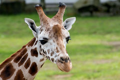 Żyrafy Giraffa Camelopaidalis Obraz Stock